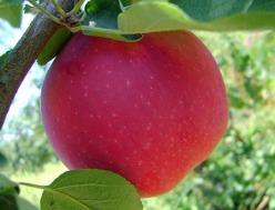 Яблоня Пепин шафранный: описание и фото